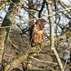 Buzzard (Buteo buteo) in our garden, Dumfries and Galloway, Scotland