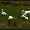 Whooper Swans in Strath Glass