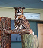 A Great Horned Owl which in life was a North Collier County Regional Park mascot watches the crowd