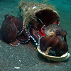 "You can clearly see the smooth black sand, ""muck diving"" as it is called in this shot. These are 2 coconut octopus making a home in a plastic bucket and shell"
