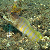 A Goby of some sort