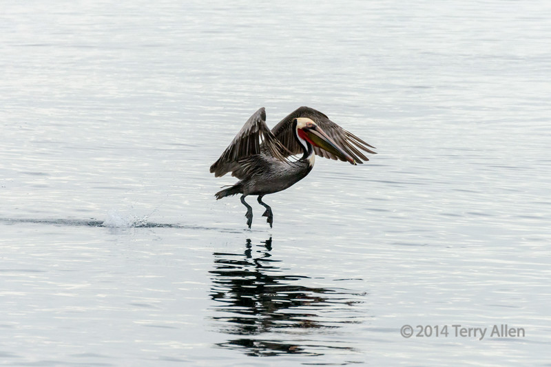 """Tippy toes (best larger)<br /> <br /> Brown pelican on tiptoes, with reflection, off Isla Carmen, Sea of Cortez, Baja, Mexico<br /> <br /> Other pelican photos, plus fishermen, can be seen here: <a href=""""http://goo.gl/cM6Z8e"""">http://goo.gl/cM6Z8e</a><br /> <br /> 12/08/14  <a href=""""http://www.allenfotowild.com"""">http://www.allenfotowild.com</a>"""