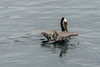 Brown pelican in breeding colours, wings lifted, off Isla Carmen, Sea of Cortez, Baja, Mexico (best larger)