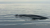 Humpback whale surfacing for air, early morning off Loreto, Sea of Cortez, Baja, Mexico