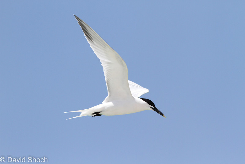 Sandwich Tern, 26 April 2013, Bowmans Beach Sanibel Island, Florida