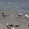 Common Tern (l) and Forster's Tern (r), 26 April 2013, Bowmans Beach Sanibel Island, Florida