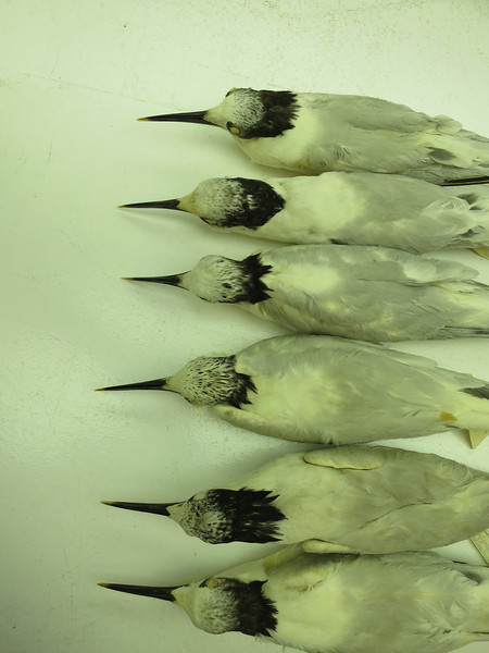 T. sandvicensis acuflavida series, basic plumage
