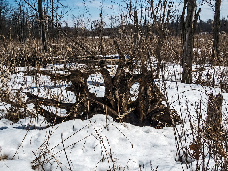 D080-2014  Old tree stump with roots upturned  Wildwing Trail, Kensington Metropark, Michigan.  March 21, 2014