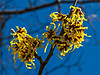 D088-2013  Witch Hazel  Nichols Arboretum, Ann Arbor March 29, 2013