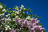 D136-2013 Lilacs White and pink blossoms against the deep blue sky.  I couldn't get enough of the views or the aromas. . In the grove and along the main path from the Geddes Ave. entrance Ann Arbor, Michigan May 16, 2013