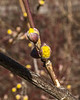 D088-2013  Buds of Cornelian Cherry, Cornus mas, just opening.<br /> By this date last year, this shrub had already bloomed fully.<br /> <br /> Nichols Arboretum, Ann Arbor<br /> March 29, 2013