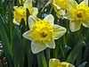 D112-2014  Daffodils (genus Narcissus).  Yellow corona and cream perianth  Taken April 22, 2014 (Ann Arbor)