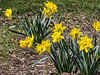 D112-2014  Daffodils (genus Narcissus)  Taken April 22, 2014 (Ann Arbor)