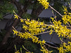 D112-2014  Forsythia<br /> <br /> Taken April 22, 2014 (Ann Arbor)