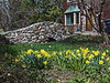 D112-2014  Daffodils (genus Narcissus)<br /> <br /> Taken April 22, 2014 (Ann Arbor)