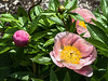 """D141-2014  First of the herbaceous peonies to bloom - filtered version<br /> (three layers - smudgestick, watercolor, poster edges - applied in succession)<br /> The unfiltered version is here:  <a href=""""http://smu.gs/1n34wcX"""">http://smu.gs/1n34wcX</a><br /> <br /> Bed 20(?), plot 17 (~), no ID in current bed maps<br /> Nichols Arboretum Peony Garden, Ann Arbor<br /> May 21, 2014"""