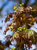 D107-2012  Young maple leaves and blossoms<br /> <br /> Schwedler Maple (Acer platanoides 'Schwedleri'), Aceraceae. <br /> Nichols Arboretum, Ann Arbor<br /> April 17, 2012