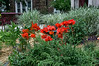 "Cutout with poster edges version<br /> See the unfiltered version here:  <a href=""http://smu.gs/ZEyatN"">http://smu.gs/ZEyatN</a><br /> D159-2013  Poppies in the flower garden in front of the Rudolf Steiner House.<br /> <br /> Geddes Avenue, Ann Arbor, Michigan<br /> June 8, 2013"