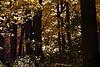Maple leaves leaving maple trees.<br /> <br /> Woodlands,<br /> Nichols Arboretum, Ann Arbor, Michigan<br /> November 1, 2011