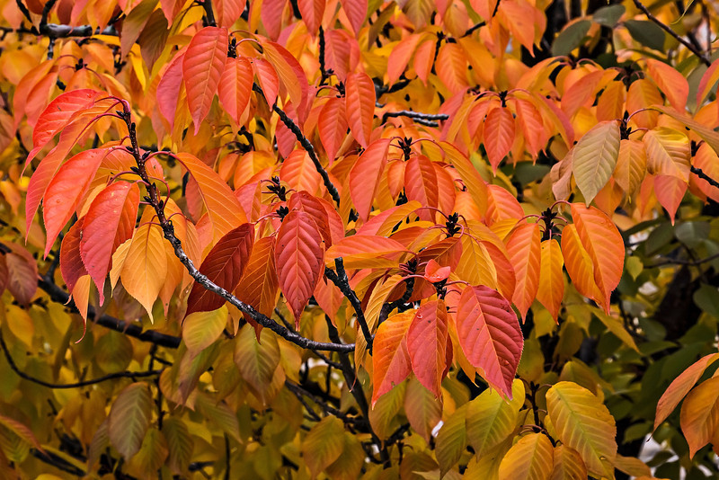D306-2013  Stewartia pseudocamellia This tree is prized for its interesting bark and for its late blooming season (late summer), but as you can see it can also produce delicious warm colors in autumn.  University of Michigan Central Campus, Ann Arbor, Michigan November 2, 2013