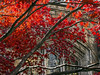 D305-2014  Japanese maple set aflame by the changing season.<br />  <br /> Law Quad, University of Michigan, Ann Arbor<br /> November 1, 2014 (Homecoming Day)