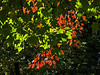 D282-2014 Maples leaves in red and green, with backlighting<br /> <br /> I-94 rest stop east of Marshall, Michigan<br /> October 9, 2014