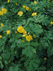 Celandine poppy - Stylophorum diphyllum (STDI3) Photo by Hilary Cox.