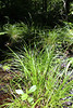 Prickly bog sedge - Carex atlantica (CAAT4)