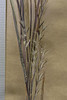 Little bluestem - Schizachyrium scoparium var. scoparium (SCSCS)