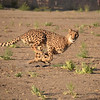 Cheetah Run at the Animal Ark north of Reno