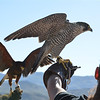 A Falcon and a Hawk seen here during a raptor demonstration at the Animal Ark north of Reno