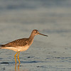 greater yellowlegs ocean shores washington