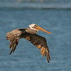 brown pelican westport washington