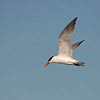 caspian tern ocean shores washington