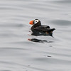 tufted puffin westport washington