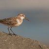 western sandpiper ocean shores washington