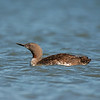 red throated loon ocean shores washington