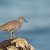 wandering tattler westport washington