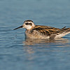 red necked phalarope ocean shores washington