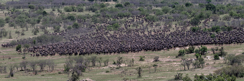 Innumerable wildebeest approach the Mara river to cross