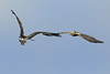 Osprey & Marsh Harrier