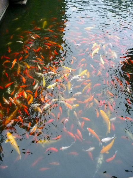 As seen, this pond was completely full of Koi Fish