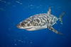 Great white shark, Carcharodon carcharias, Isla Guadalupe, Mexico ( Eastern Pacific Ocean )