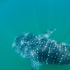Snorkeling with a whale shark at Bahia de Los Angeles.