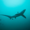 Thresher shark at Monad Shoal.