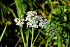 Yarrow (Achillea millefolium) — at Shell Ridge Open Space.
