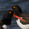 Oystercatcher Duo