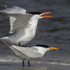 Royal Tern Mating Behavior