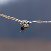 Short Eared Owl with Payload