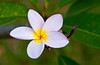 Closeup of the tropical plumeria flower growing on trees in the Singapore Botanic Gardens, East Asia.